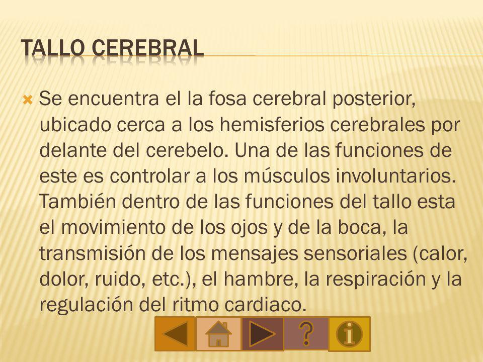El cerebelo esta situado en la fosa craneal posterior, dorsal al tronco del encéfalo e inferior al lóbulo occipital, por debajo de la corteza.