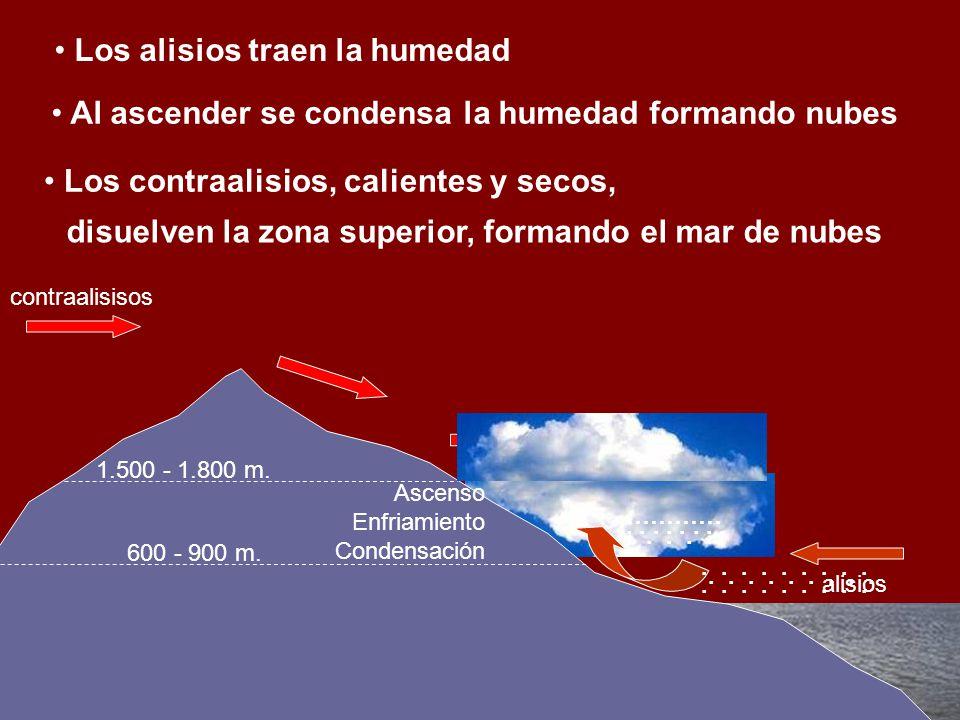 600 - 900 m. 1.500 - 1.800 m. Ascenso Enfriamiento Condensación contraalisisos …………...................... alisios Mar de nubes Los alisios traen la hu