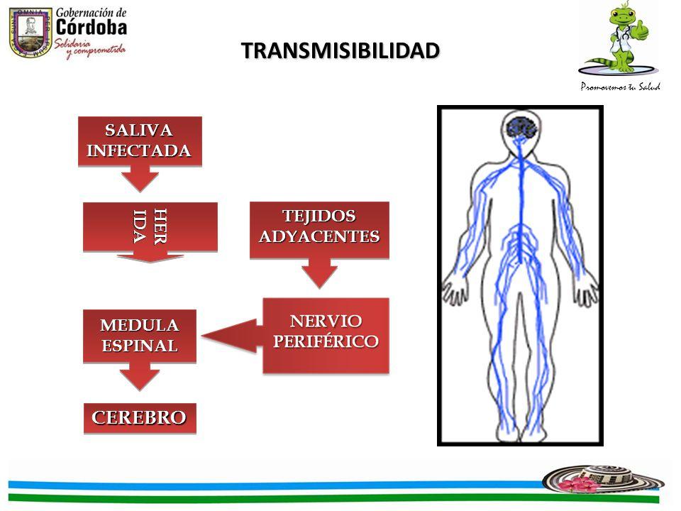 Promovemos tu Salud INCUBACIÓN Exposición Aparición de los primeros síntomas Humanos: desde 10 días hasta 1 año (Prom.