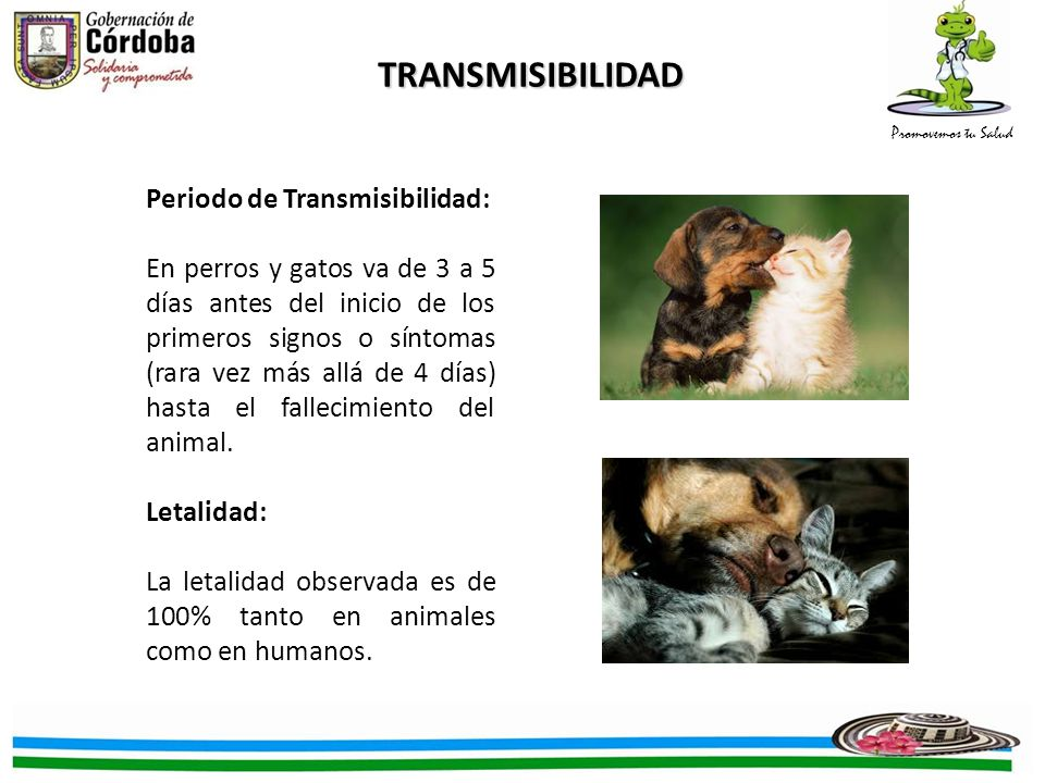 Promovemos tu Salud TRANSMISIBILIDAD Periodo de Transmisibilidad: En perros y gatos va de 3 a 5 días antes del inicio de los primeros signos o síntomas (rara vez más allá de 4 días) hasta el fallecimiento del animal.