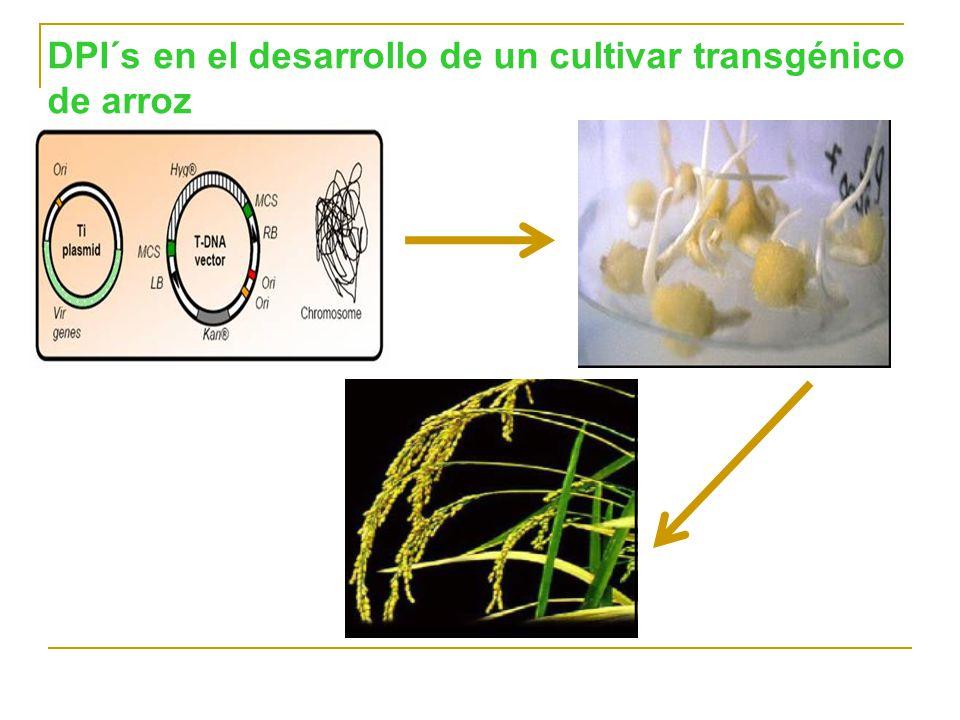 DPI´s en el desarrollo de un cultivar transgénico de arroz