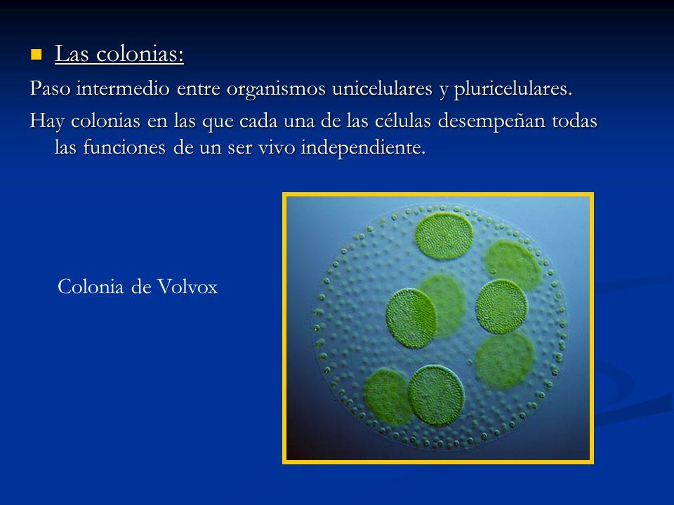 Las colonias: Las colonias: Paso intermedio entre organismos unicelulares y pluricelulares. Hay colonias en las que cada una de las células desempeñan