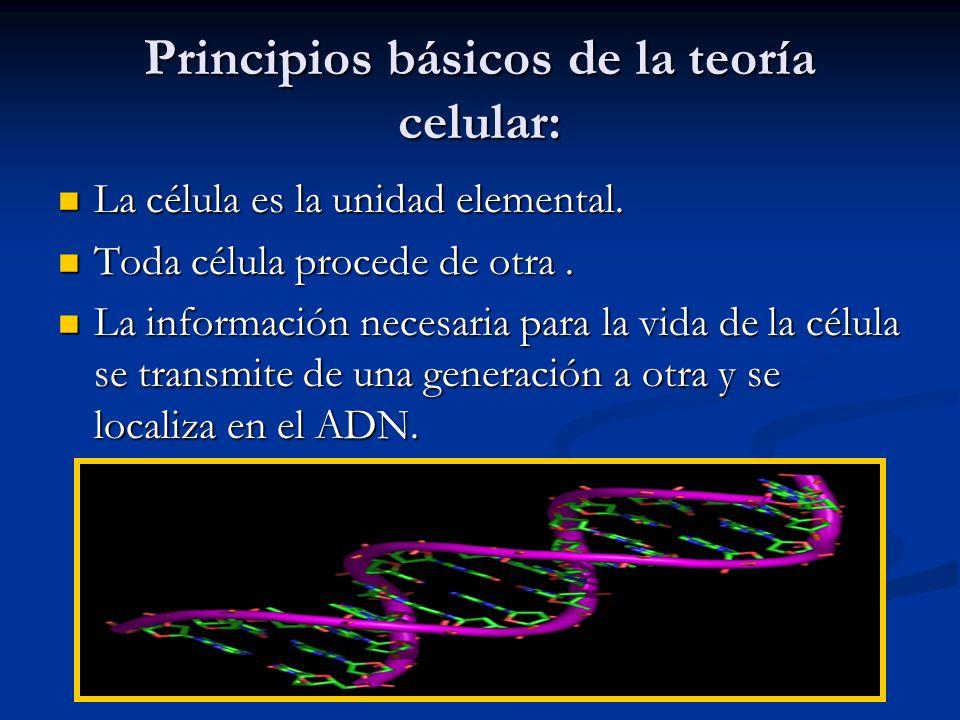 Principios básicos de la teoría celular: La célula es la unidad elemental. La célula es la unidad elemental. Toda célula procede de otra. Toda célula