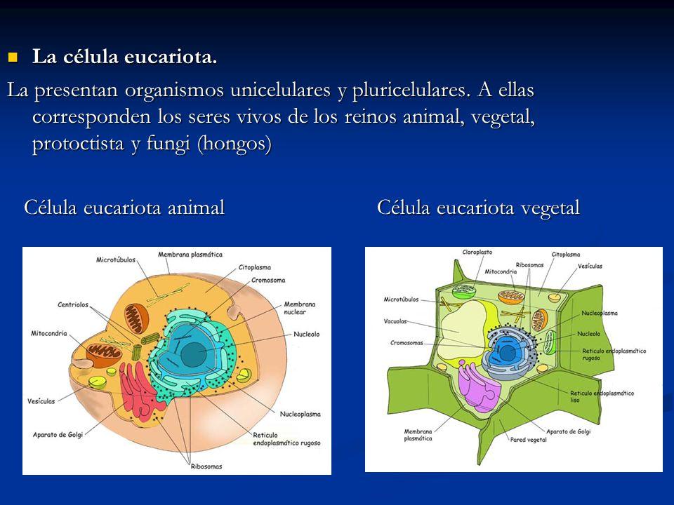 La célula eucariota. La célula eucariota. La presentan organismos unicelulares y pluricelulares. A ellas corresponden los seres vivos de los reinos an