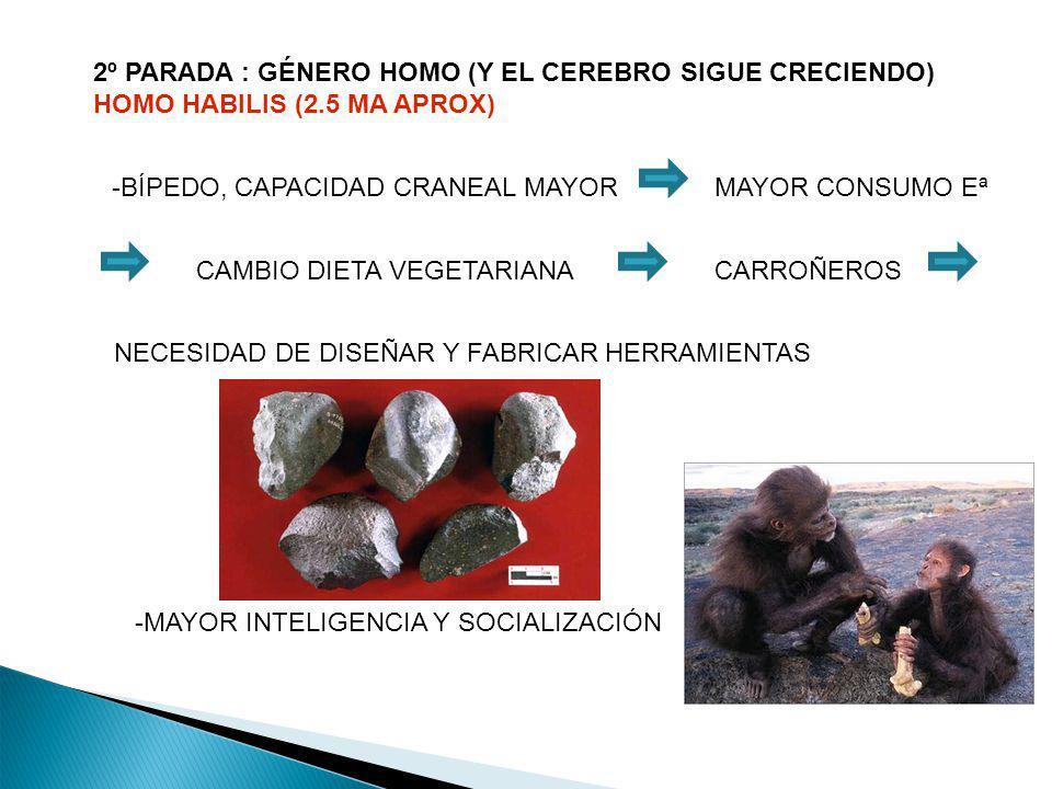 2º PARADA : GÉNERO HOMO (Y EL CEREBRO SIGUE CRECIENDO) HOMO HABILIS (2.5 MA APROX) -BÍPEDO, CAPACIDAD CRANEAL MAYORMAYOR CONSUMO Eª NECESIDAD DE DISEÑ