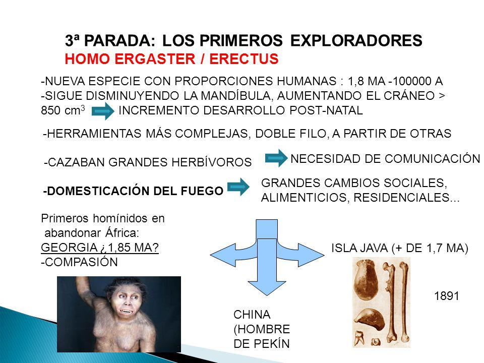 3ª PARADA: LOS PRIMEROS EXPLORADORES HOMO ERGASTER / ERECTUS -NUEVA ESPECIE CON PROPORCIONES HUMANAS : 1,8 MA -100000 A -SIGUE DISMINUYENDO LA MANDÍBU