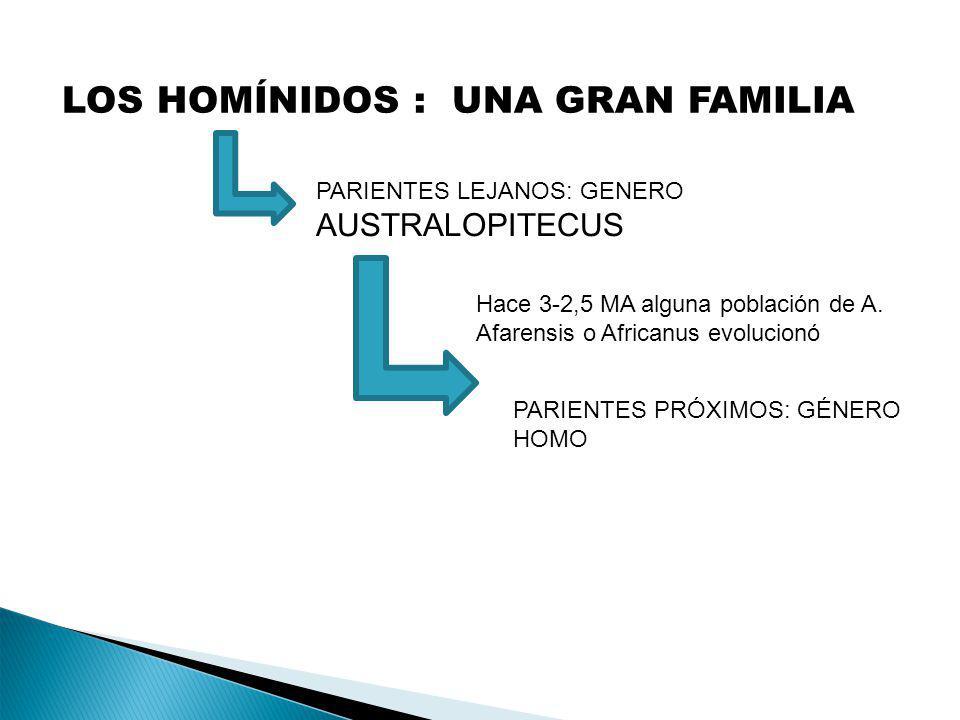 LOS HOMÍNIDOS : UNA GRAN FAMILIA PARIENTES LEJANOS: GENERO AUSTRALOPITECUS PARIENTES PRÓXIMOS: GÉNERO HOMO Hace 3-2,5 MA alguna población de A. Afaren