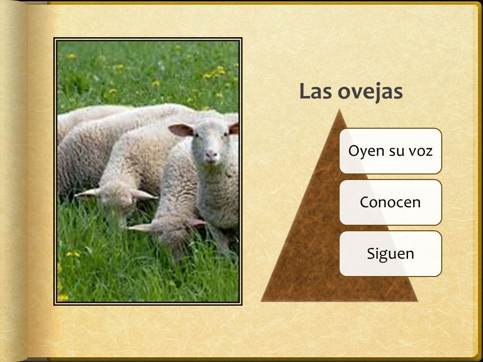 Las ovejas Oyen su vozConocenSiguen