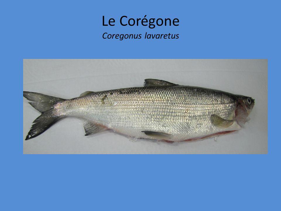 Le Corégone Coregonus lavaretus