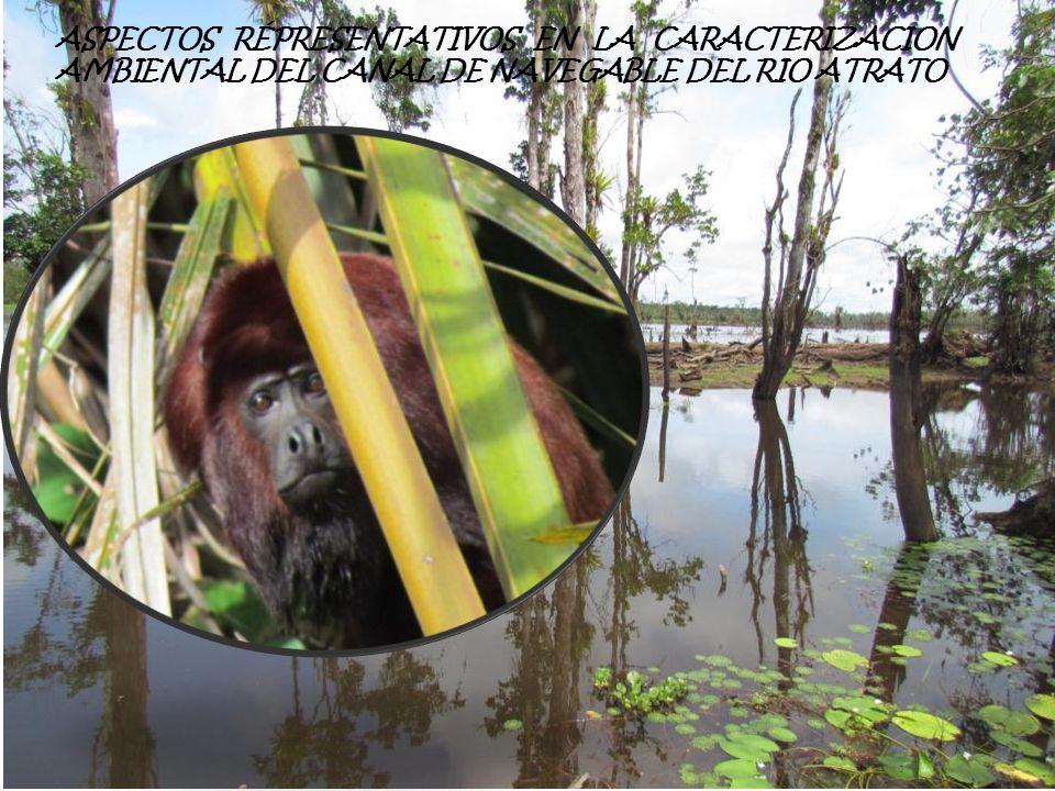 Casi endémica de Colombia, característica en las zonas inundables del Bajo Atrato, asociada, a comunidades de interés especial, como los Cativales, Arracachales y Panganales, esta especie se reporta como amenazada en el territorio nacional, donde sus poblaciones son bajas, pero según los reportes del IIAP, para la zona baja del Atrato, sus poblaciones son altas, Especies de interés especial Chauna chavaria Chavarrio Esta especie ha sufrido la disminución de sus poblaciones con el tiempo, debido a la destrucción de su hábitat y a la fuerte cacería ilegal, lo que ha conllevado a la reducción de sus poblaciones a tal punto de enlistar el apéndice I del CITES y presentar un alto riesgo de amenaza ante la extinción VU.
