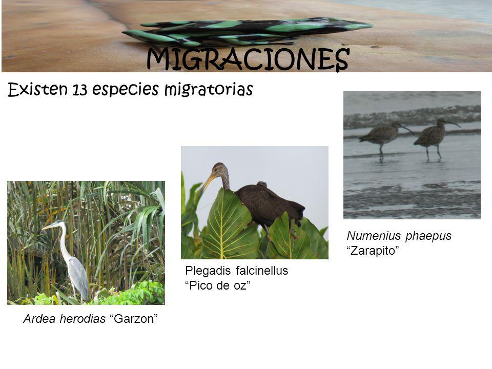 MIGRACIONES Existen 13 especies migratorias Ardea herodias Garzon Plegadis falcinellus Pico de oz Numenius phaepus Zarapito