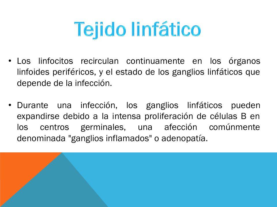 Los linfocitos recirculan continuamente en los órganos linfoides periféricos, y el estado de los ganglios linfáticos que depende de la infección.