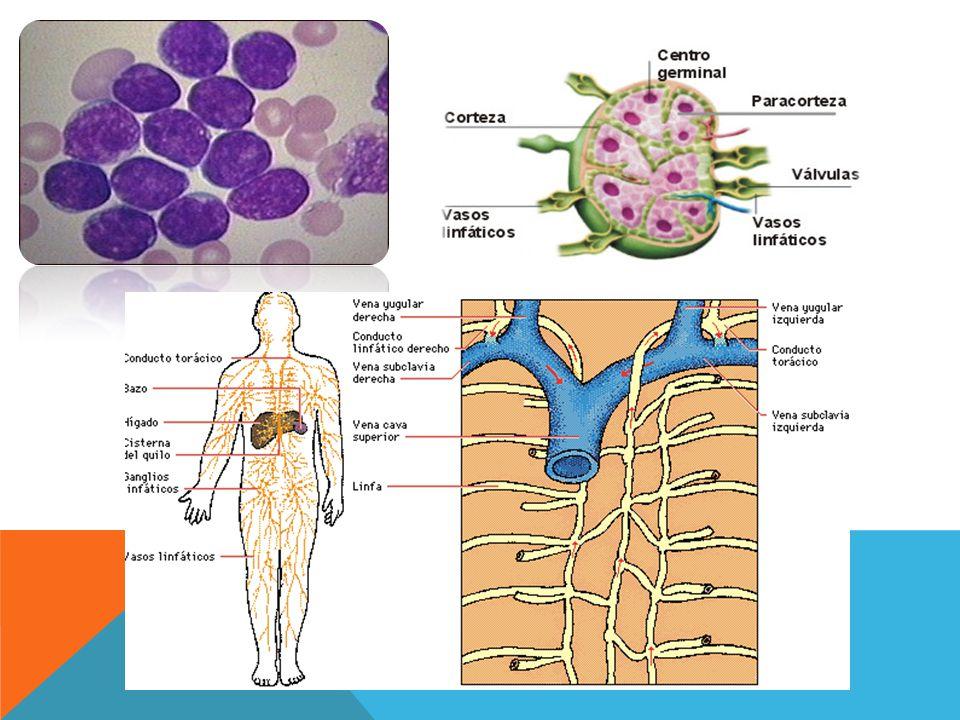 El sistema linfático está compuesto por dos estructuras principales que son los vasos linfáticos y ganglios linfáticos.