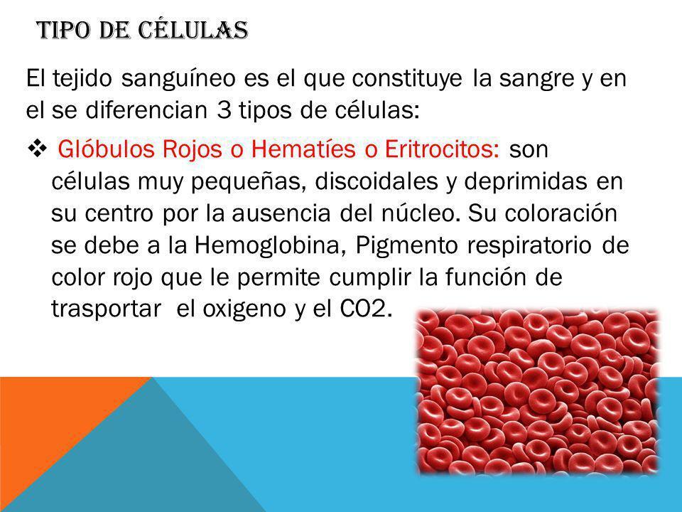 TIPO DE CÉLULAS El tejido sanguíneo es el que constituye la sangre y en el se diferencian 3 tipos de células: Glóbulos Rojos o Hematíes o Eritrocitos: son células muy pequeñas, discoidales y deprimidas en su centro por la ausencia del núcleo.