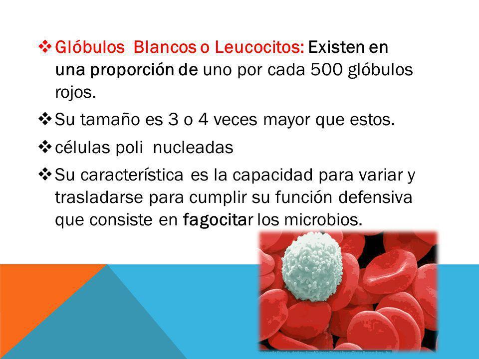 Glóbulos Blancos o Leucocitos: Existen en una proporción de uno por cada 500 glóbulos rojos. Su tamaño es 3 o 4 veces mayor que estos. células poli nu