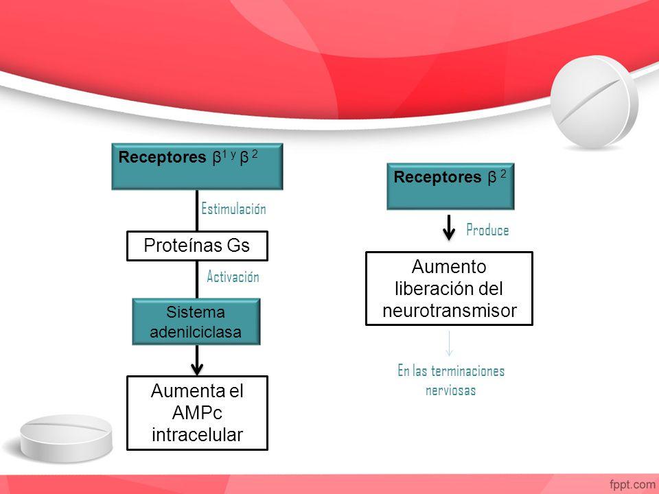 Receptores β 1 y β 2 Proteínas Gs Sistema adenilciclasa Aumenta el AMPc intracelular Receptores β 2 Estimulación Activación Aumento liberación del neu