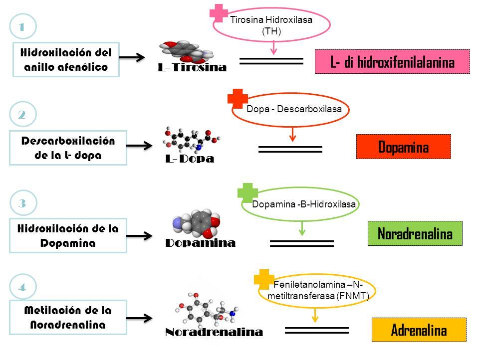 L- Tirosina L- di hidroxifenilalanina Dopamina Noradrenalina Adrenalina Hidroxilación del anillo afenólico Descarboxilación de la L- dopa L- Dopa Hidroxilación de la Dopamina Dopamina Metilación de la Noradrenalina Noradrenalina Tirosina Hidroxilasa (TH) Dopa - Descarboxilasa Dopamina -B-Hidroxilasa Feniletanolamina –N- metiltransferasa (FNMT) 1234