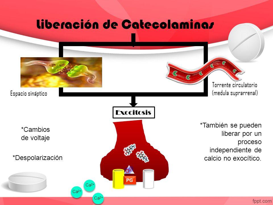 Liberación de Catecolaminas Torrente circulatorio (medula suprarrenal) Espacio sináptico Exocitosis PG *Cambios de voltaje *Despolarización *También se pueden liberar por un proceso independiente de calcio no exocítico.