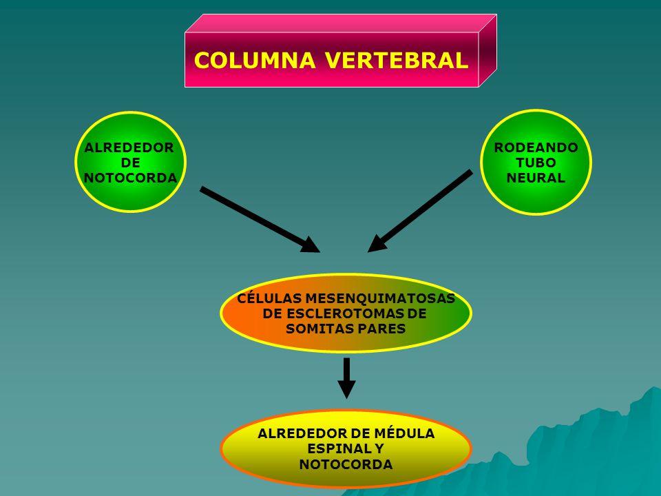 COLUMNA VERTEBRAL CÉLULAS MESENQUIMATOSAS DE ESCLEROTOMAS DE SOMITAS PARES RODEANDO TUBO NEURAL ALREDEDOR DE NOTOCORDA ALREDEDOR DE MÉDULA ESPINAL Y NOTOCORDA