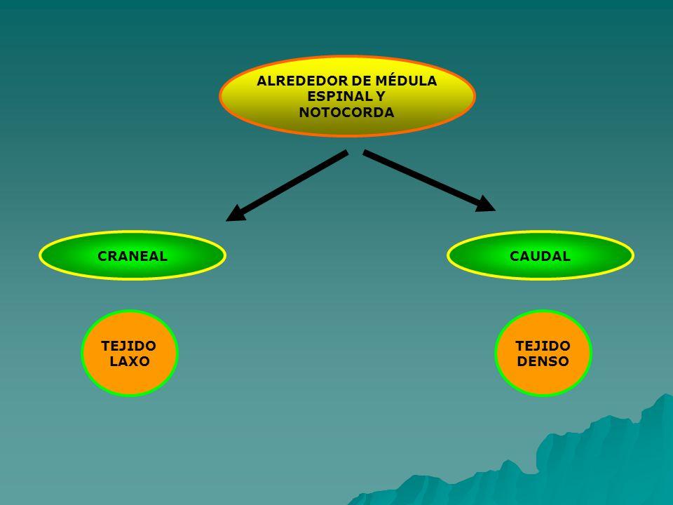 ALREDEDOR DE MÉDULA ESPINAL Y NOTOCORDA CAUDALCRANEAL TEJIDO LAXO TEJIDO DENSO