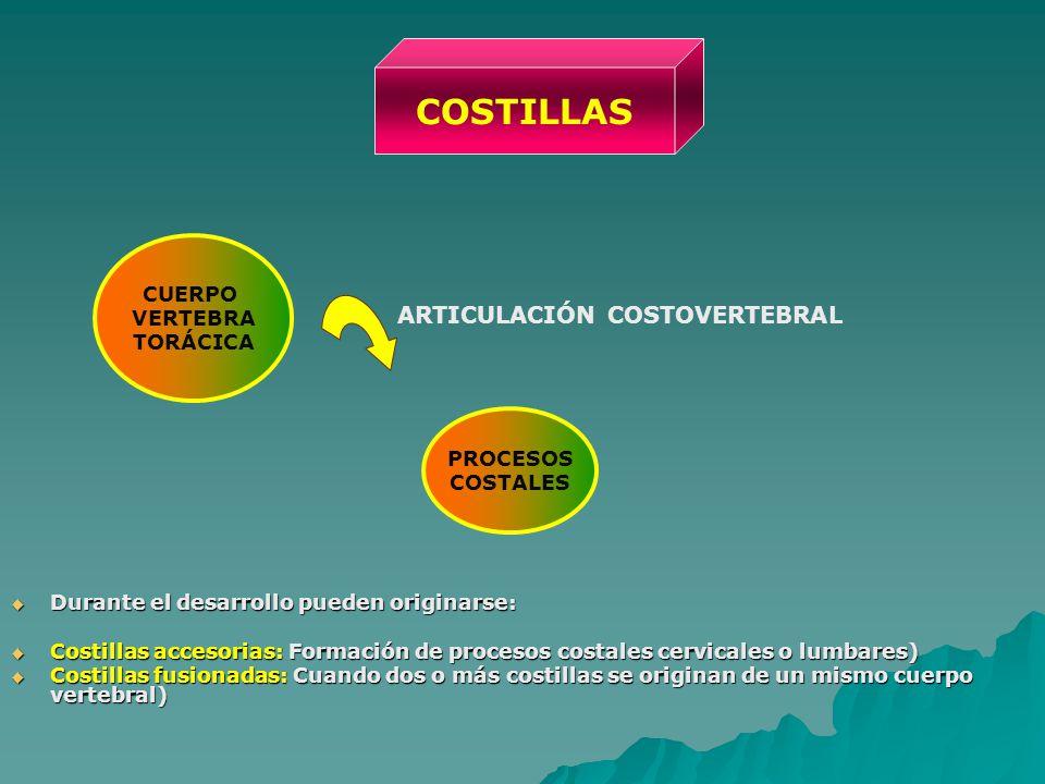 Durante el desarrollo pueden originarse: Durante el desarrollo pueden originarse: Costillas accesorias: Formación de procesos costales cervicales o lu