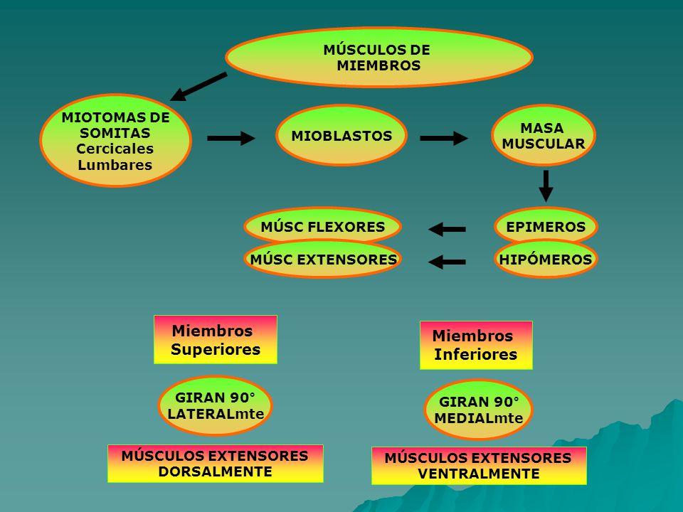 MÚSCULOS DE MIEMBROS MIOTOMAS DE SOMITAS Cercicales Lumbares MIOBLASTOS EPIMEROS MASA MUSCULAR HIPÓMEROS MÚSC FLEXORES MÚSC EXTENSORES Miembros Superiores Miembros Inferiores GIRAN 90° LATERALmte GIRAN 90° MEDIALmte MÚSCULOS EXTENSORES VENTRALMENTE MÚSCULOS EXTENSORES DORSALMENTE
