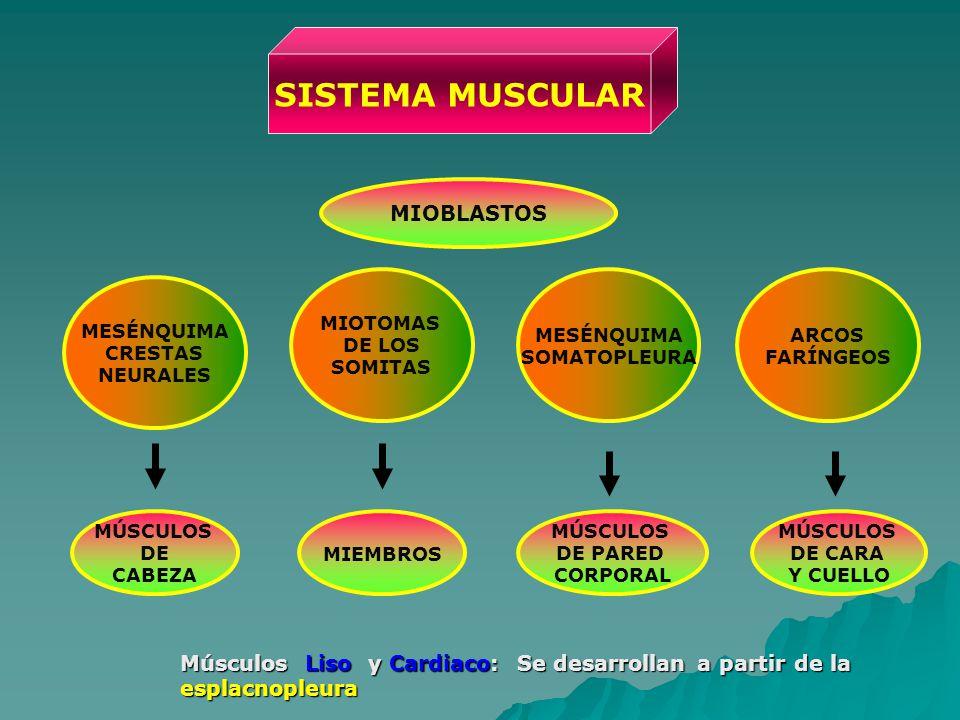 SISTEMA MUSCULAR MESÉNQUIMA CRESTAS NEURALES MÚSCULOS DE CABEZA ARCOS FARÍNGEOS MIOTOMAS DE LOS SOMITAS MÚSCULOS DE CARA Y CUELLO MIEMBROS MESÉNQUIMA SOMATOPLEURA MÚSCULOS DE PARED CORPORAL MIOBLASTOS Músculos Liso y Cardiaco: Se desarrollan a partir de la esplacnopleura