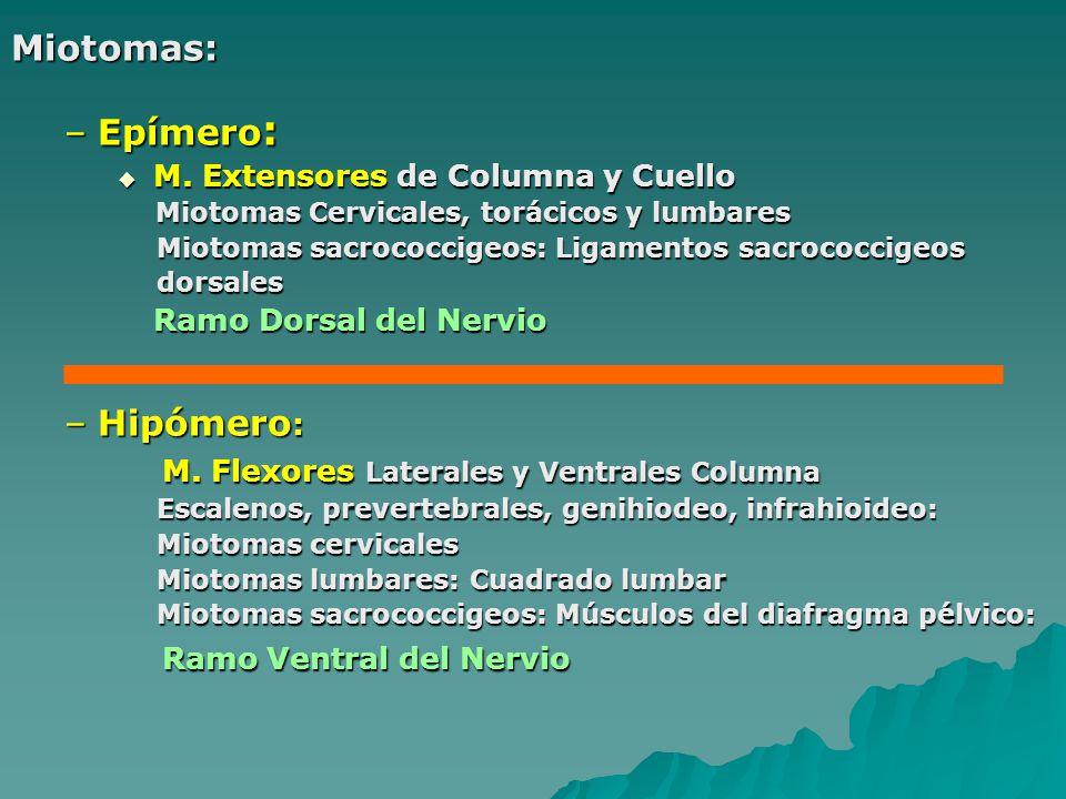 Miotomas: –Epímero : M. Extensores de Columna y Cuello M. Extensores de Columna y Cuello Miotomas Cervicales, torácicos y lumbares Miotomas Cervicales