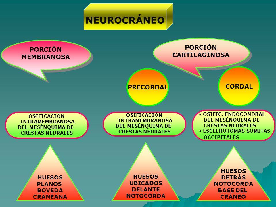NEUROCRÁNEO OSIFICACIÓN INTRAMEMBRANOSA DEL MESÉNQUIMA DE CRESTAS NEURALES PORCIÓN MEMBRANOSA PORCIÓN CARTILAGINOSA PORCIÓN CARTILAGINOSA OSIFICACIÓN