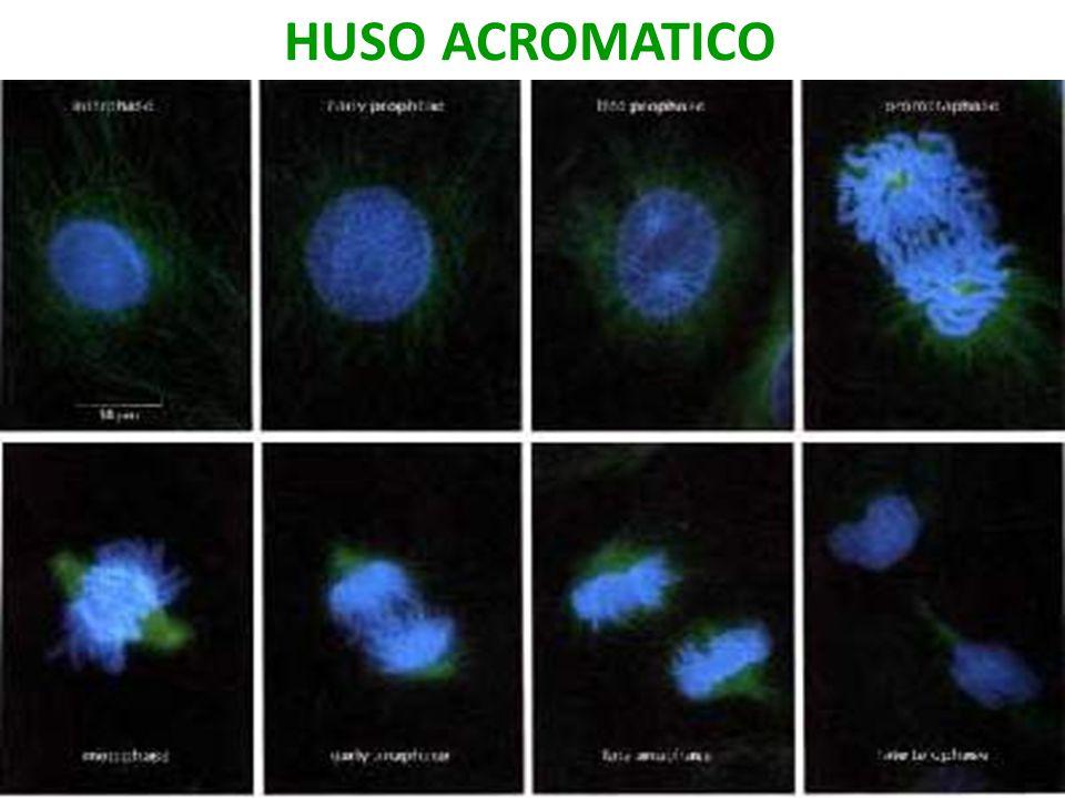 MICROTÚBULOS:CÉLULA CULTIVADA USMP-FMH. BMC-2009-II H. Lezama 16