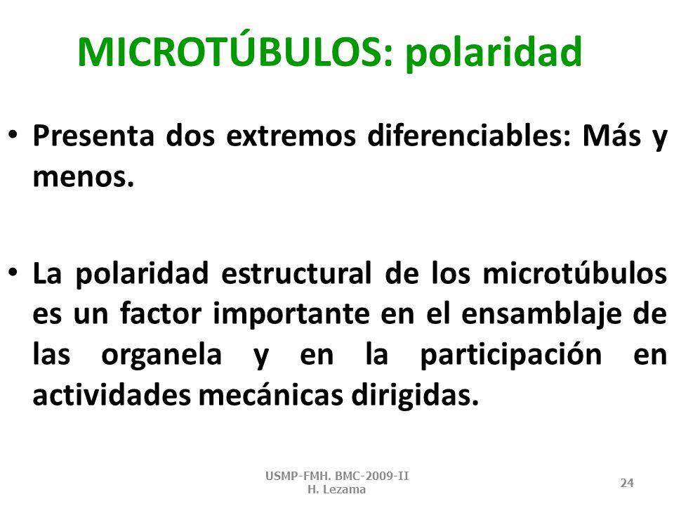 MICROTÚBULOS: protofilamentos Cada subunidad globular consta de una sola molécula de tubulin a.