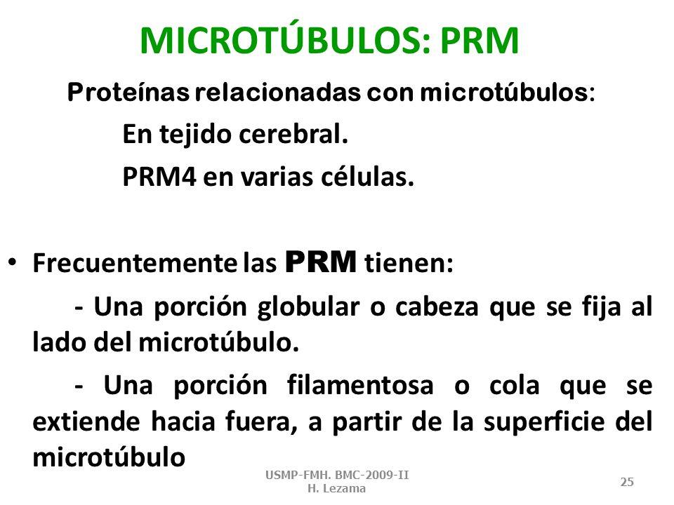 MICROTÚBULOS: polaridad Presenta dos extremos diferenciables: Más y menos.