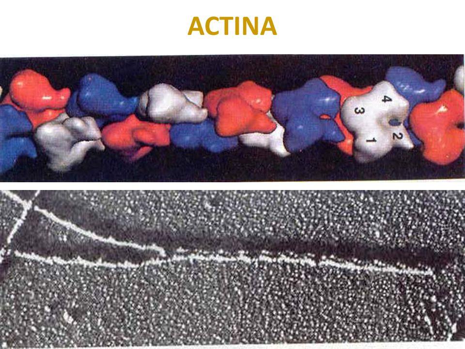 MICROFILAMENTOS: función Intervienen en el movimiento de células no musculares: desplazamiento, contracción citocinesis.