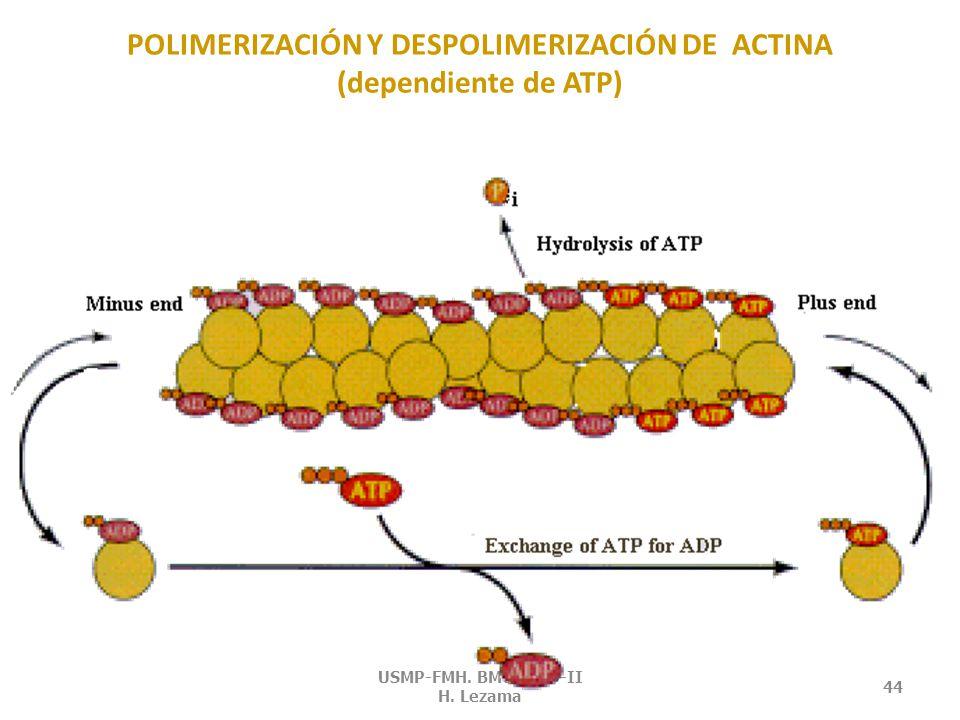 ACTINA Es una de las proteínas más abundantes del músculo.