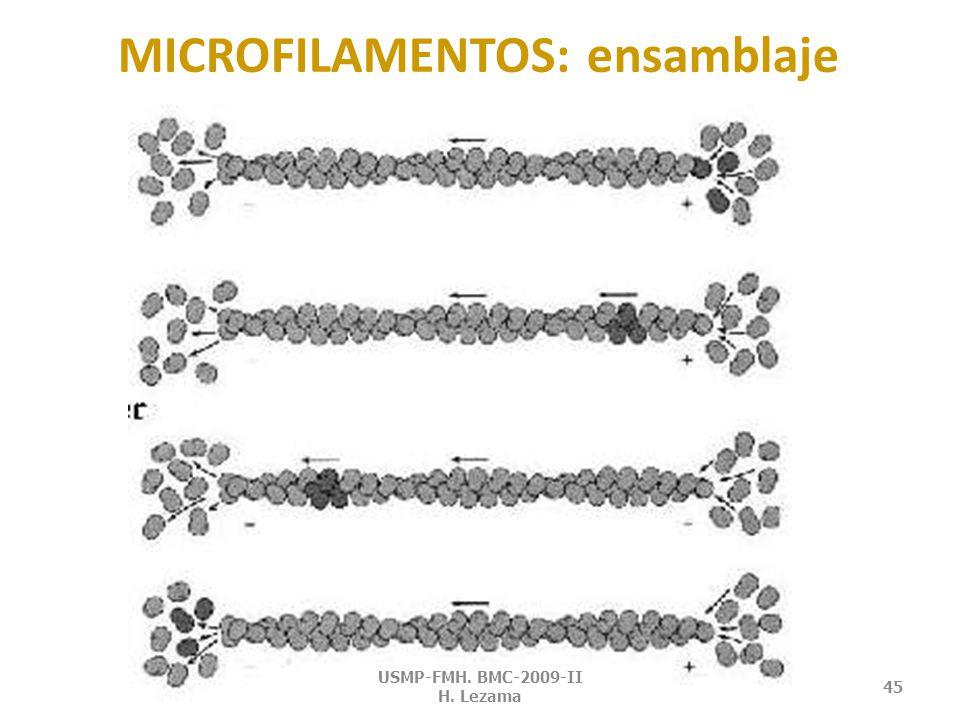 POLIMERIZACIÓN Y DESPOLIMERIZACIÓN DE ACTINA (dependiente de ATP) USMP-FMH.