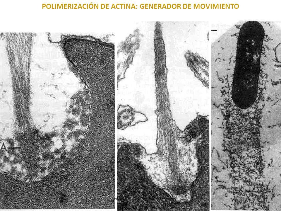 MICROFILAMENTOS: ensamblaje USMP-FMH. BMC-2009-II H. Lezama 45