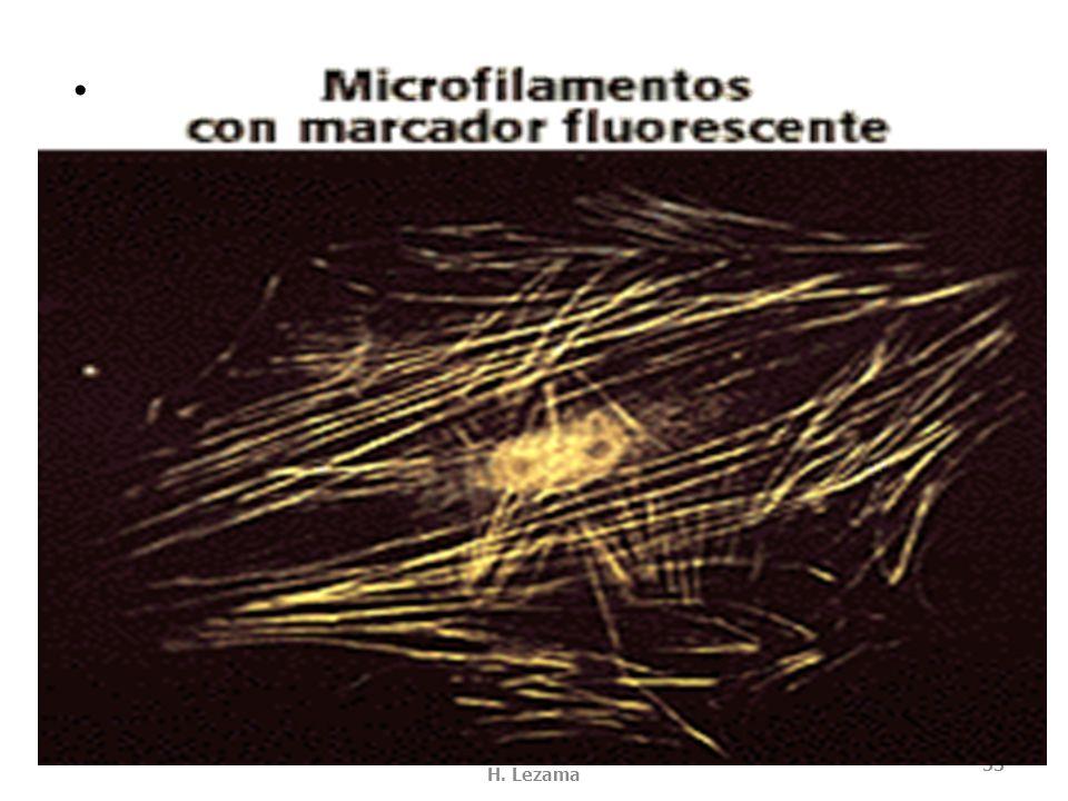 MOTILIDAD DE MIOSINA USMP-FMH. BMC-2009-II H. Lezama 52