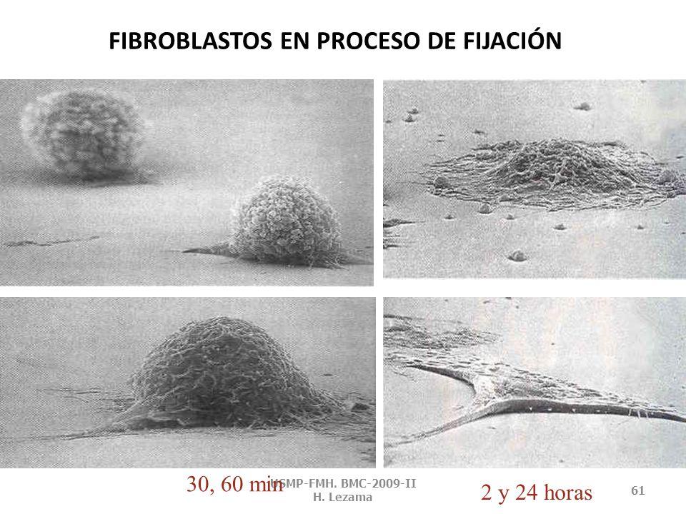 CITOESQUELETO DE CÉLULAS VEGETALES USMP-FMH. BMC-2009-II H. Lezama 60