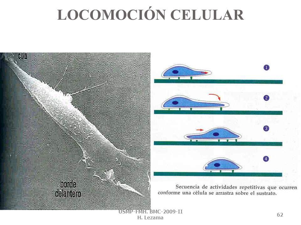 FIBROBLASTOS EN PROCESO DE FIJACIÓN USMP-FMH. BMC-2009-II H. Lezama 61 30, 60 min 2 y 24 horas