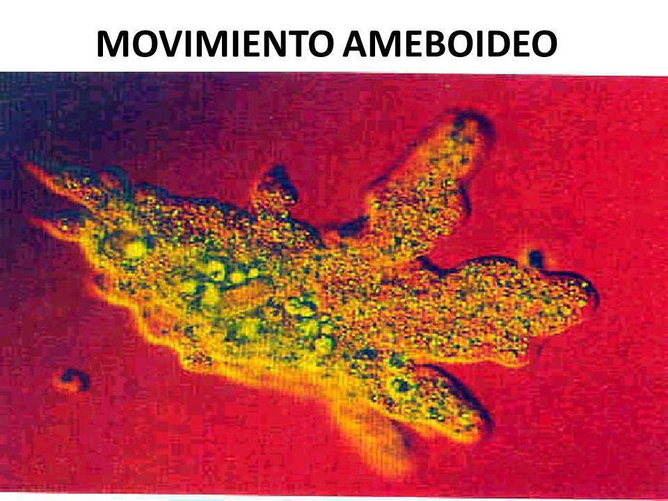 MOVIMIENTO AMEBOIDEO USMP-FMH. BMC-2009-II H. Lezama 63