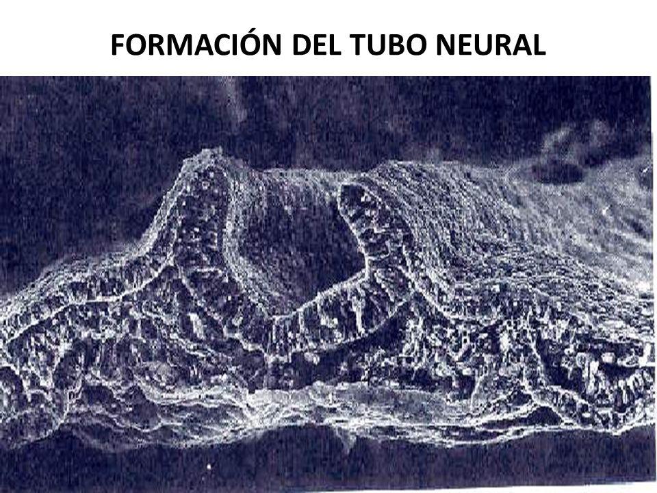 FORMACIÓN DEL TUBO NEURAL USMP-FMH. BMC-2009-II H. Lezama 65