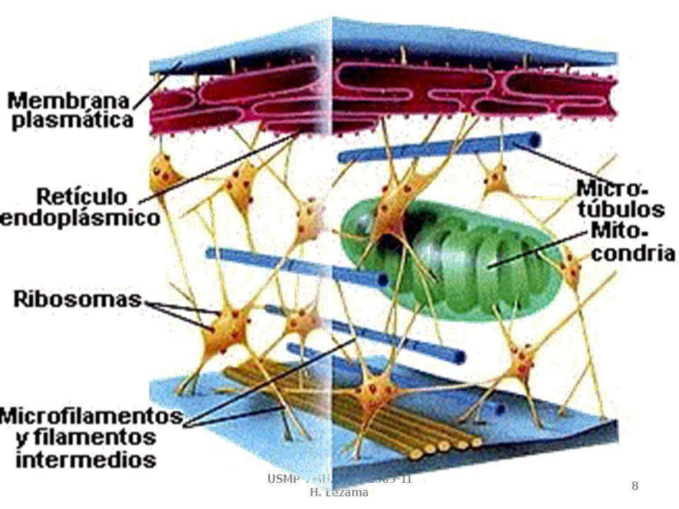CITOESQUELETO Forma parte de organelos locomotores como cilios y flagelos.