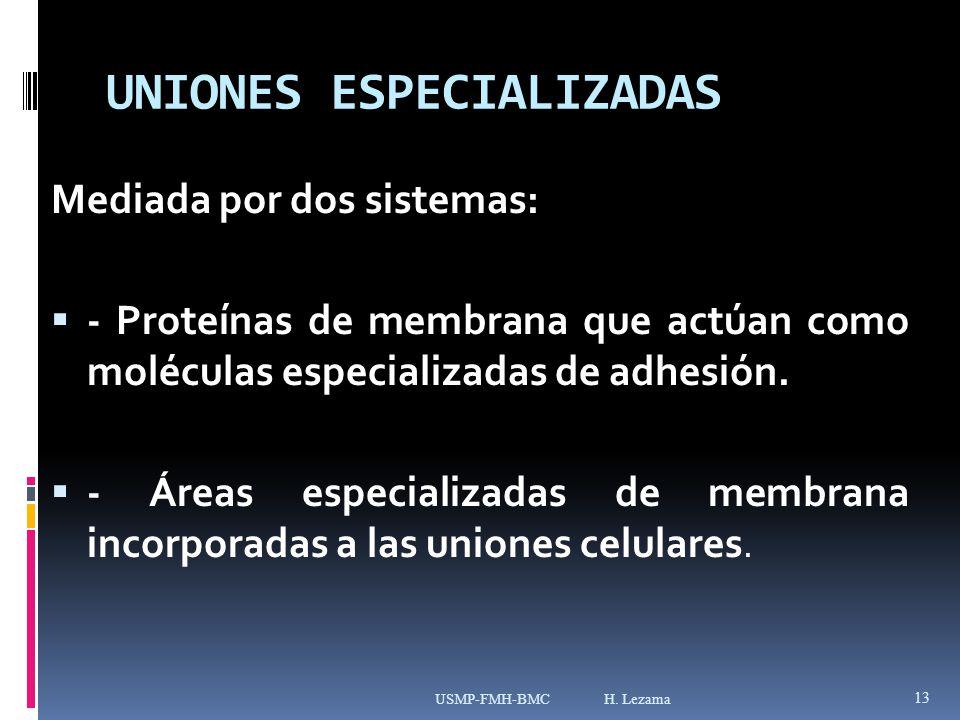 UNIONES ESPECIALIZADAS Mediada por dos sistemas: - Proteínas de membrana que actúan como moléculas especializadas de adhesión.