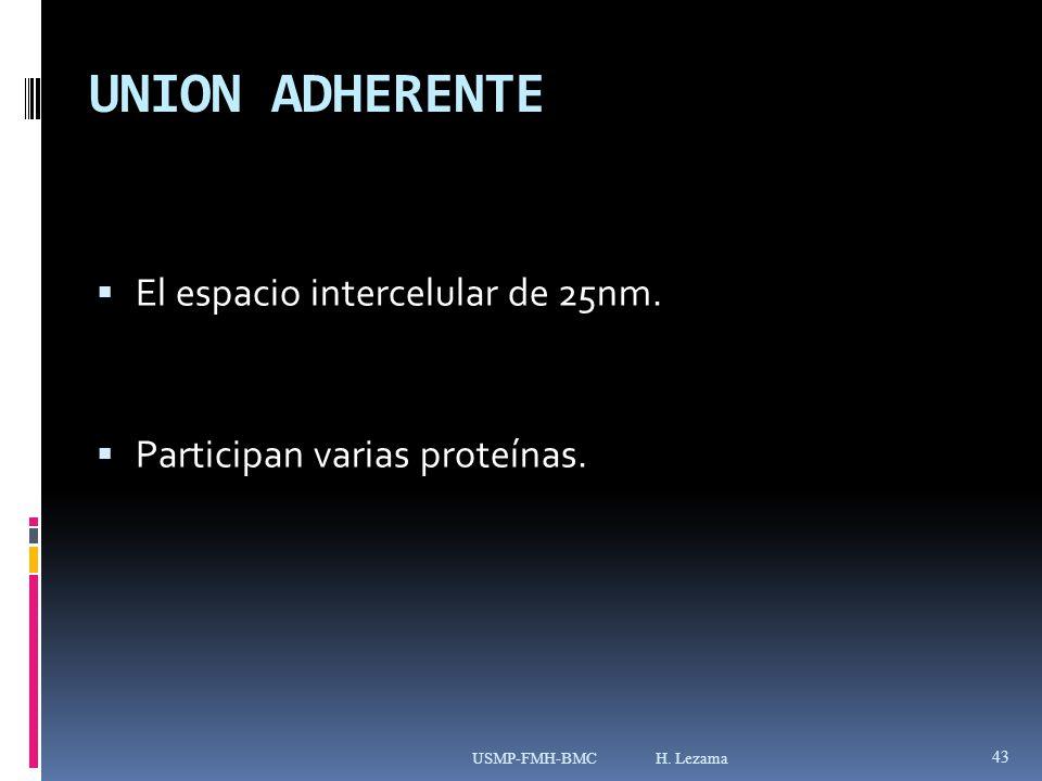 UNION ADHERENTE El espacio intercelular de 25nm.Participan varias proteínas.