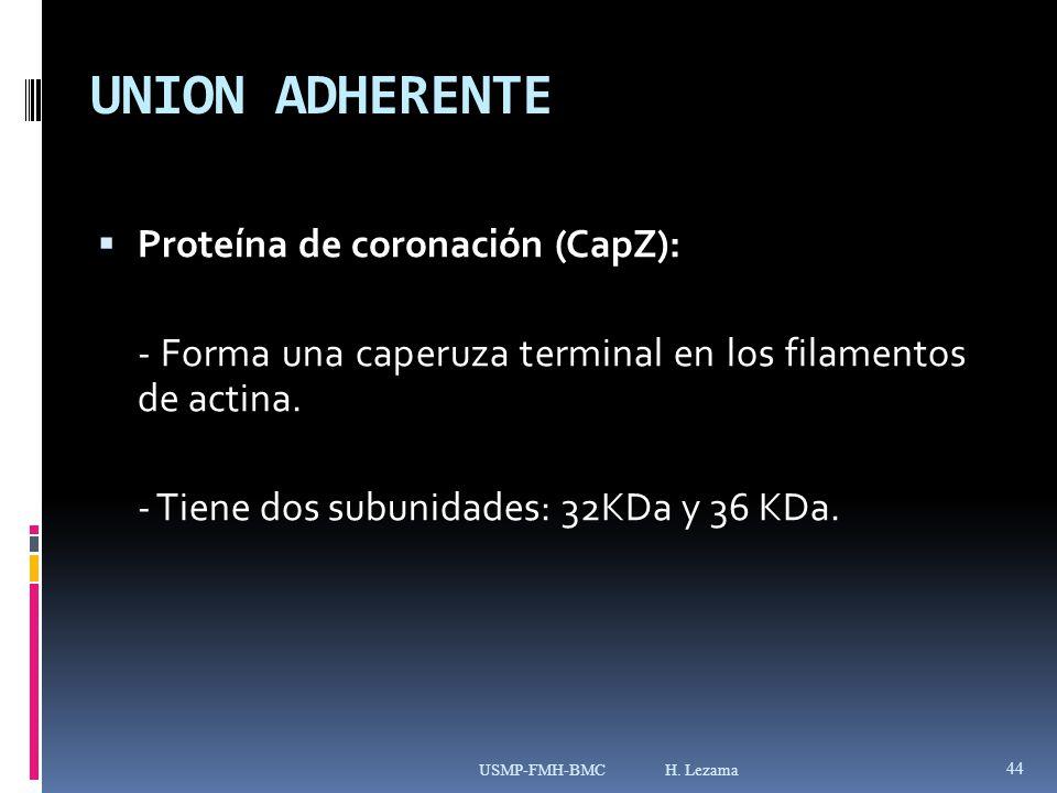 UNION ADHERENTE Proteína de coronación (CapZ): - Forma una caperuza terminal en los filamentos de actina.