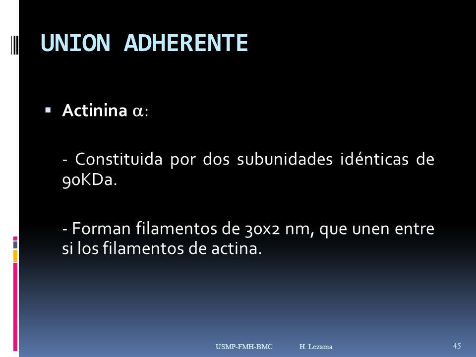 UNION ADHERENTE Actinina : - Constituida por dos subunidades idénticas de 90KDa.