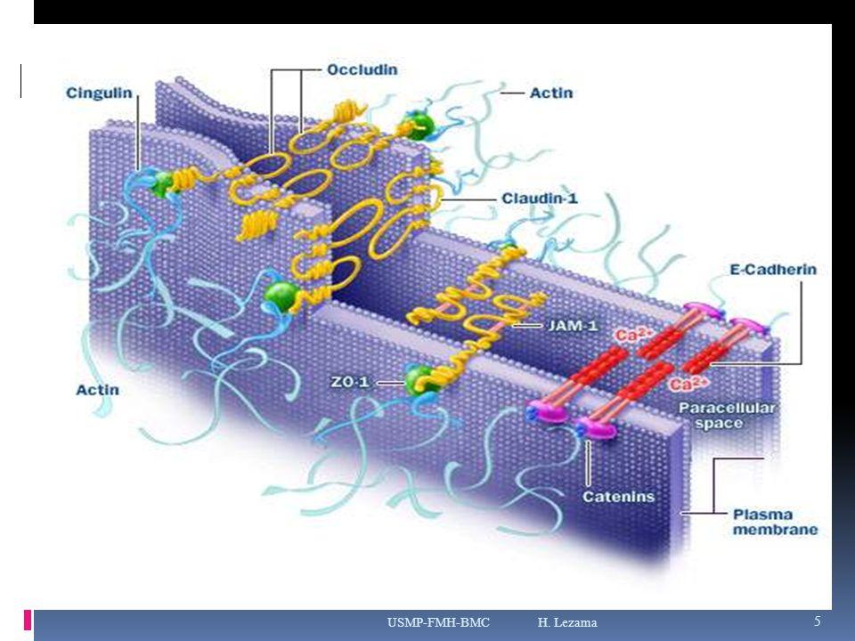 MOLECULAS DE ADHESIÓN CELULAR Glicoproteínas de membrana, dependientes de Ca ++ : - Cadherinas - Adhesinas - Integrinas Glicoproteínas de membrana, no dependientes de Ca ++ : - CAM USMP-FMH-BMC H.