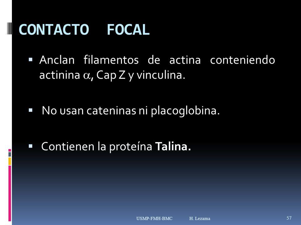 CONTACTO FOCAL Anclan filamentos de actina conteniendo actinina, Cap Z y vinculina.