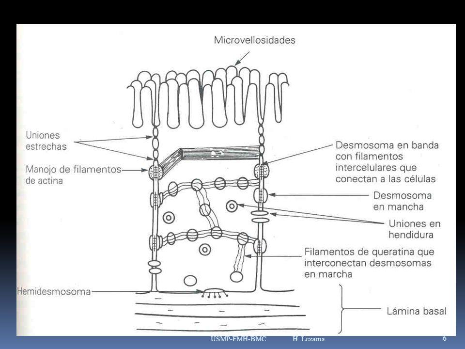 COMPLEJOS DE UNIONES Pueden ser observadas uniendo a las células epiteliales cúbicas y cilíndricas.