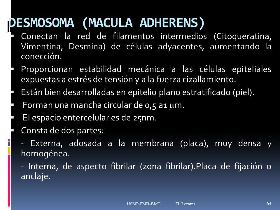 DESMOSOMA (MACULA ADHERENS) Conectan la red de filamentos intermedios (Citoqueratina, Vimentina, Desmina) de células adyacentes, aumentando la conección.